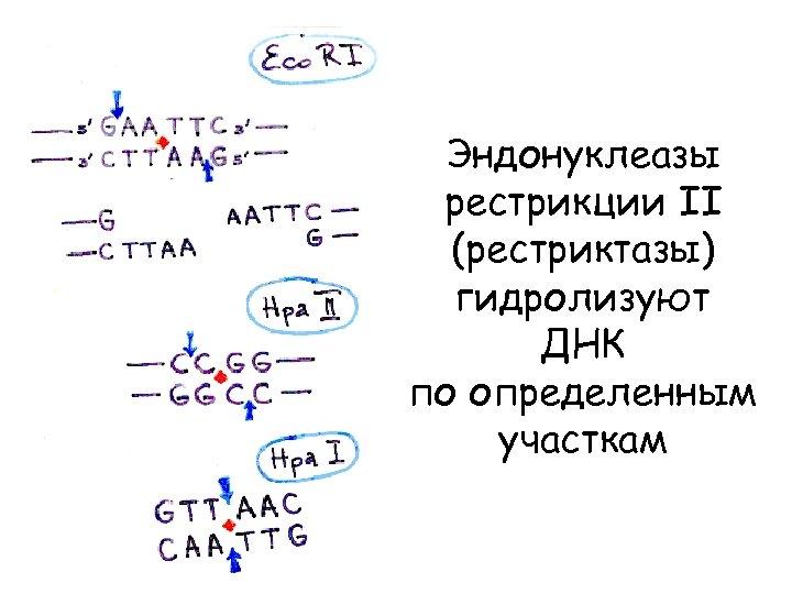 Эндонуклеазы рестрикции II (рестриктазы) гидролизуют ДНК по определенным участкам