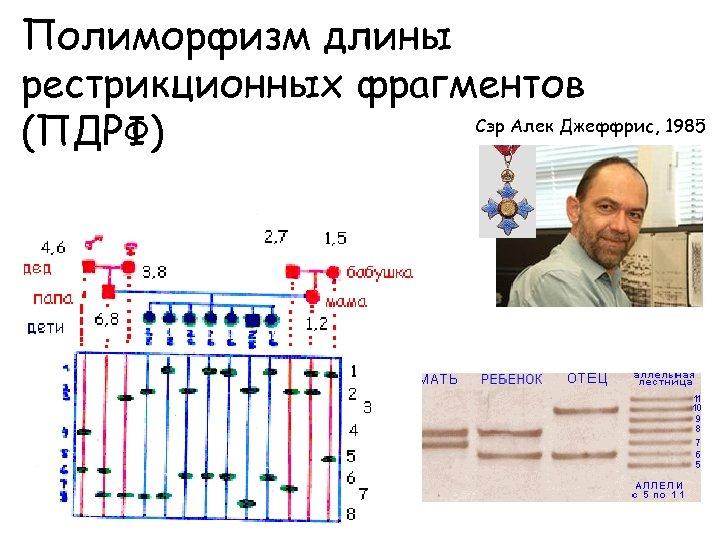 Полиморфизм длины рестрикционных фрагментов Сэр Алек Джеффрис, 1985 (ПДРФ)