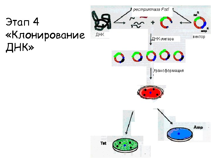 Этап 4 «Клонирование ДНК»