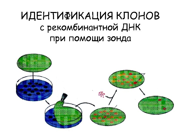 ИДЕНТИФИКАЦИЯ КЛОНОВ с рекомбинантной ДНК при помощи зонда