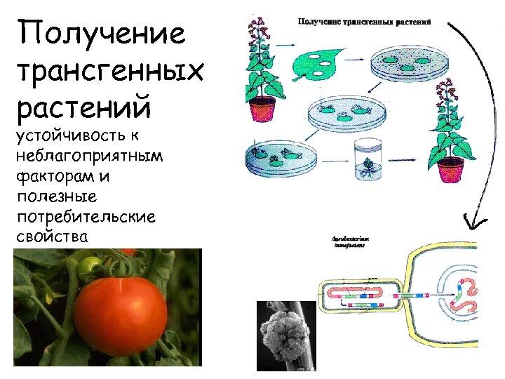 Получение трансгенных растений устойчивость к неблагоприятным факторам и полезные потребительские свойства