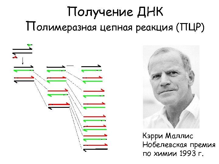 Получение ДНК Полимеразная цепная реакция (ПЦР) Кэрри Маллис Нобелевская премия по химии 1993 г.