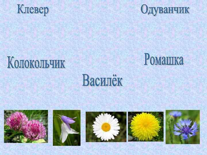 картинки цветов колокольчик одуванчик мак ромашка седум