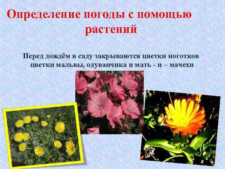 Определение погоды с помощью растений Перед дождём в саду закрываются цветки ноготков цветки мальвы,