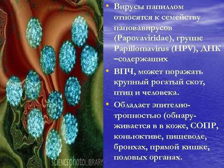 • Вирусы папиллом • • относятся к семейству паповавирусов (Papovaviridae), группе Papillomavirus (HPV),