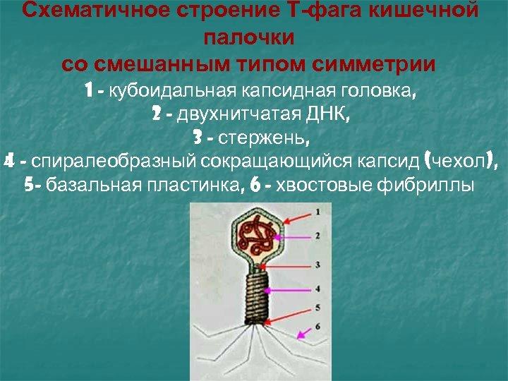 Схематичное строение Т-фага кишечной палочки со смешанным типом симметрии 1 - кубоидальная капсидная головка,