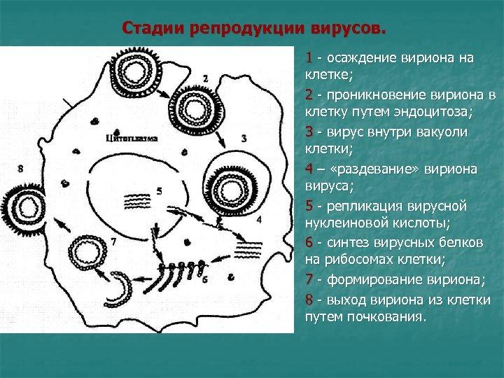 Стадии репродукции вирусов. 1 - осаждение вириона на клетке; n n n n 2