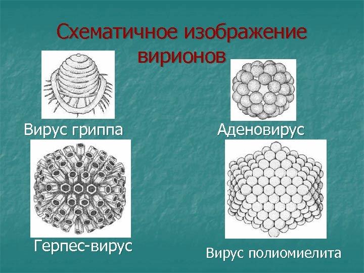 Схематичное изображение вирионов Вирус гриппа Аденовирус Герпес-вирус Вирус полиомиелита