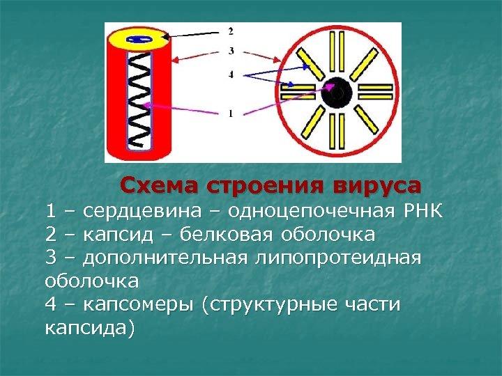 Схема строения вируса 1 – сердцевина – одноцепочечная РНК 2 – капсид –