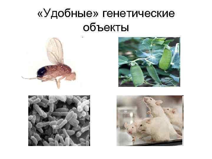 «Удобные» генетические объекты