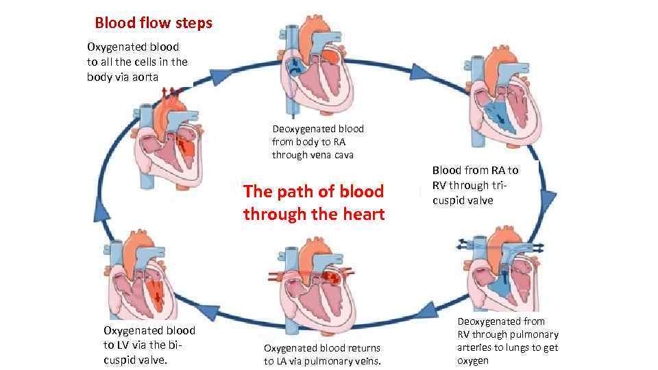 Blood flow steps Oxygenated blood to all the cells in the body via aorta