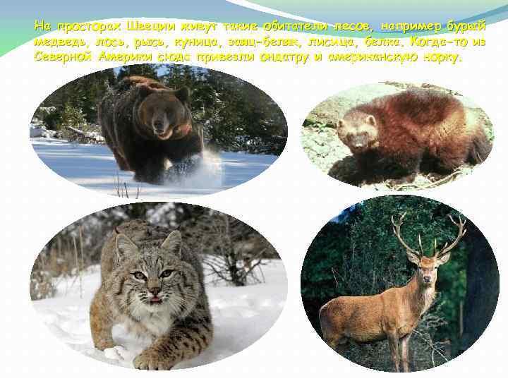 На просторах Швеции живут такие обитатели лесов, например бурый медведь, лось, рысь, куница, заяц-беляк,
