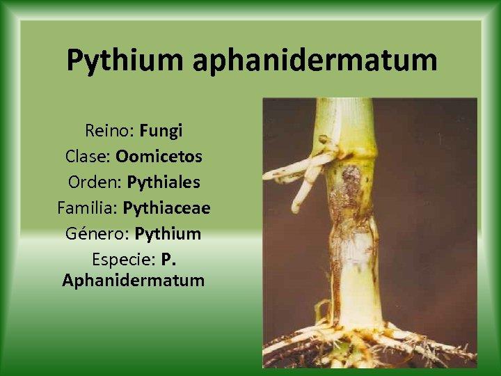 Pythium aphanidermatum Reino: Fungi Clase: Oomicetos Orden: Pythiales Familia: Pythiaceae Género: Pythium Especie: P.