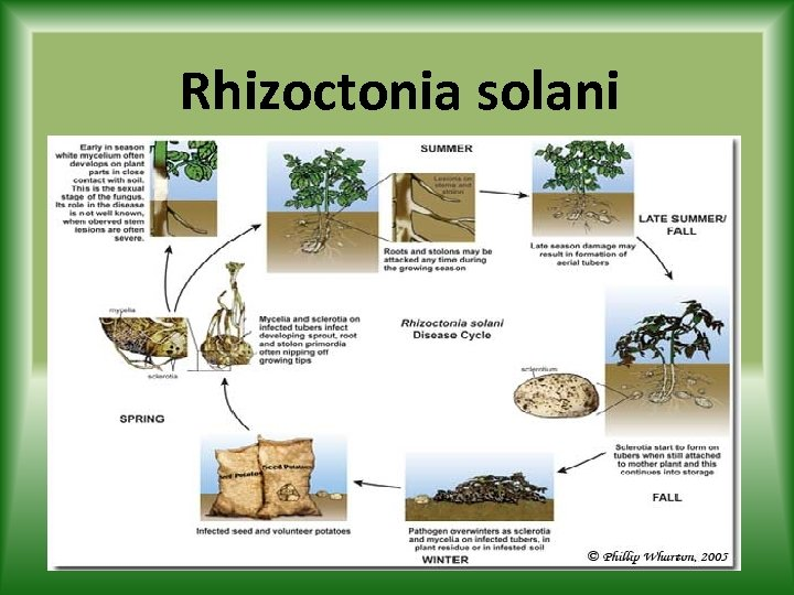 Rhizoctonia solani