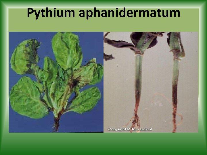 Pythium aphanidermatum