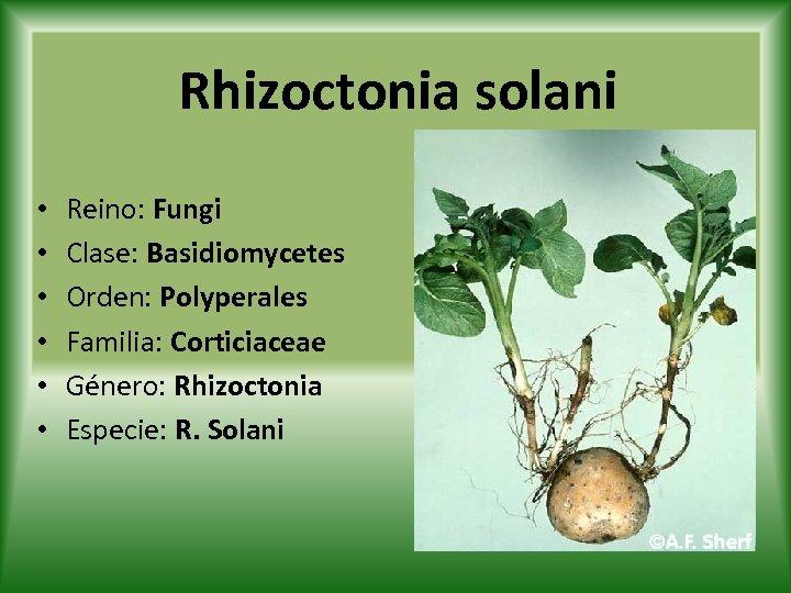 Rhizoctonia solani • • • Reino: Fungi Clase: Basidiomycetes Orden: Polyperales Familia: Corticiaceae Género: