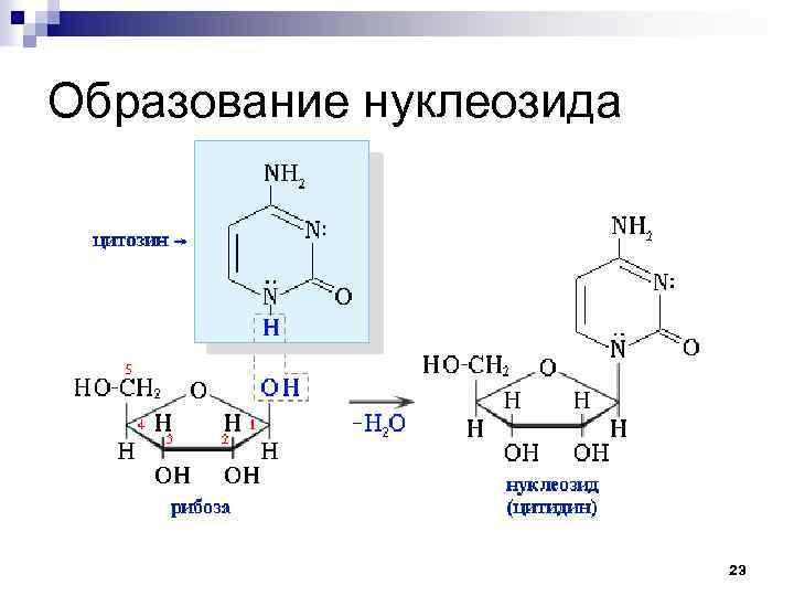 Образование нуклеозида 23
