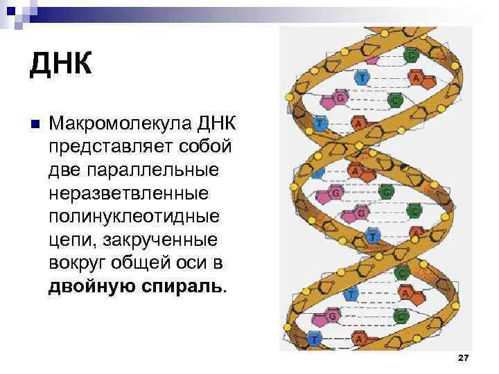 ДНК n Макромолекула ДНК представляет собой две параллельные неразветвленные полинуклеотидные цепи, закрученные вокруг общей