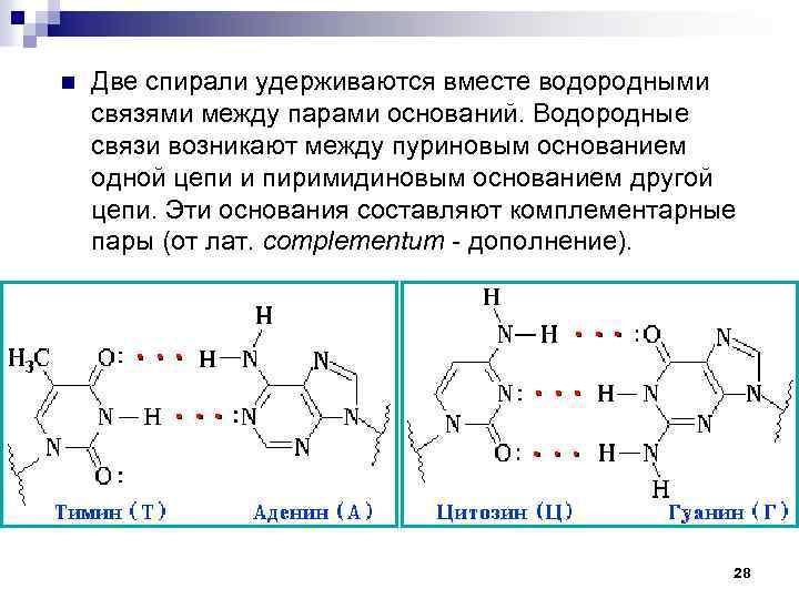 n Две спирали удерживаются вместе водородными связями между парами оснований. Водородные связи возникают между