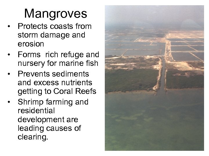 Mangroves • Protects coasts from storm damage and erosion • Forms rich refuge and