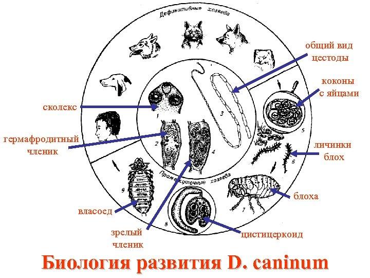 общий вид цестоды коконы с яйцами сколекс гермафродитный членик личинки блоха власоед зрелый членик