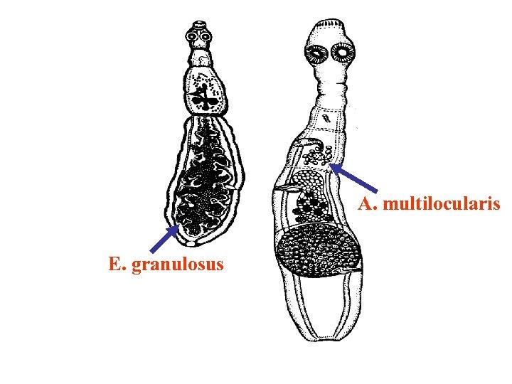 A. multilocularis E. granulosus