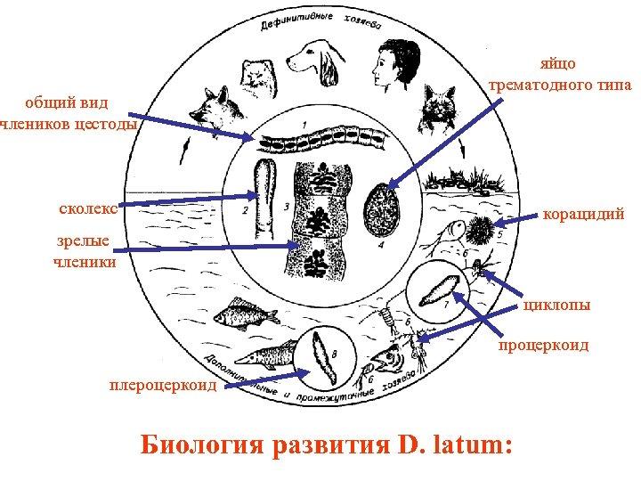 яйцо трематодного типа общий вид члеников цестоды сколекс корацидий зрелые членики циклопы процеркоид плероцеркоид