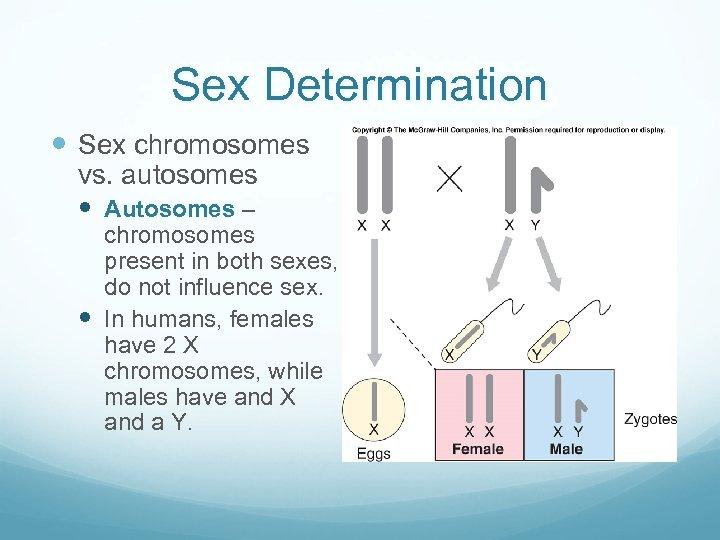 Sex Determination Sex chromosomes vs. autosomes Autosomes – chromosomes present in both sexes, do