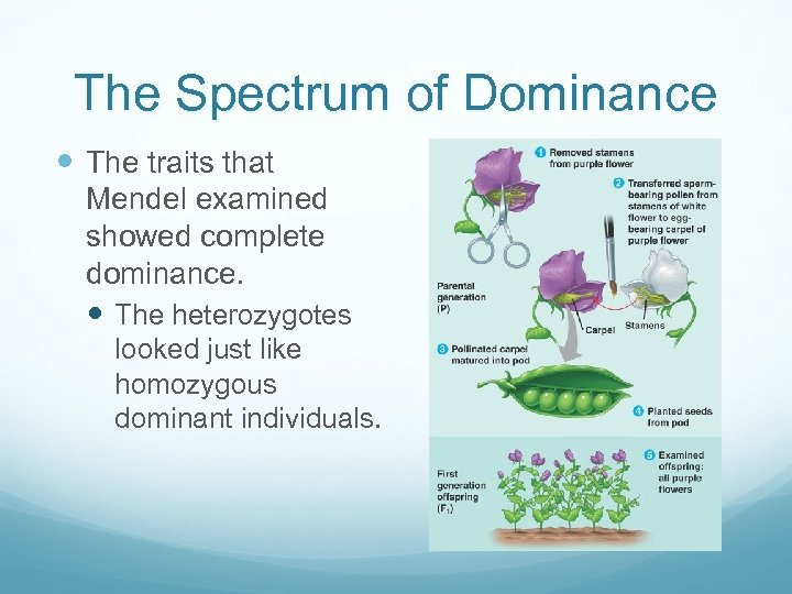 The Spectrum of Dominance The traits that Mendel examined showed complete dominance. The heterozygotes