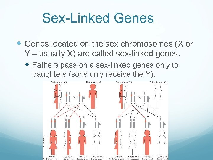 Sex-Linked Genes located on the sex chromosomes (X or Y – usually X) are