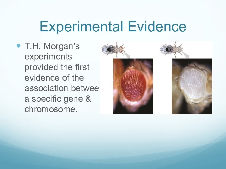 Experimental Evidence T. H. Morgan's experiments provided the first evidence of the association between
