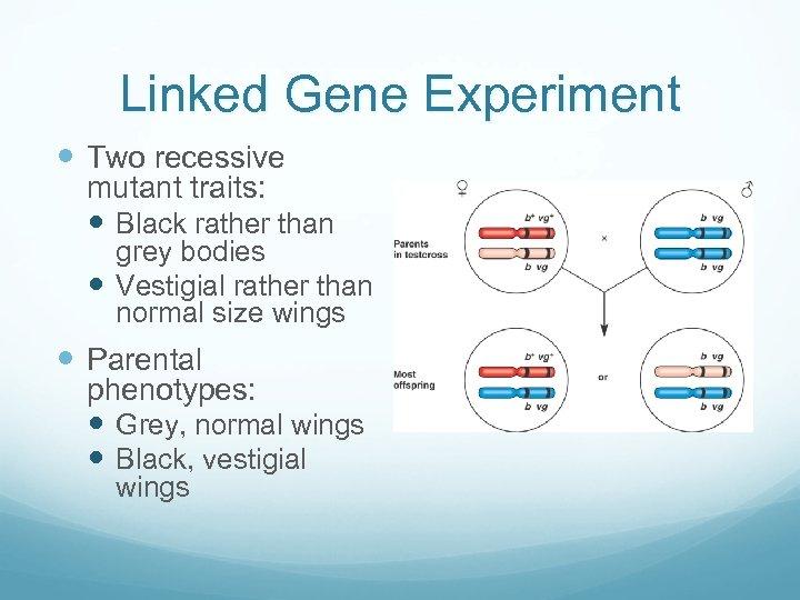 Linked Gene Experiment Two recessive mutant traits: Black rather than grey bodies Vestigial rather