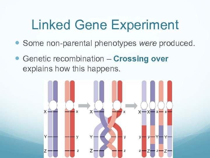 Linked Gene Experiment Some non-parental phenotypes were produced. Genetic recombination – Crossing over explains