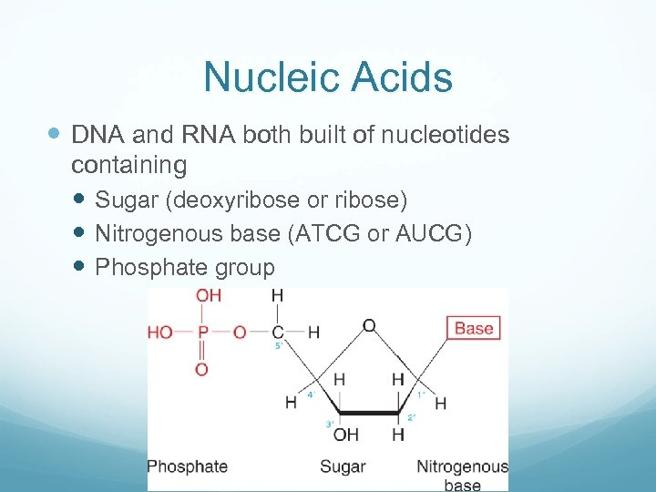 Nucleic Acids DNA and RNA both built of nucleotides containing Sugar (deoxyribose or ribose)