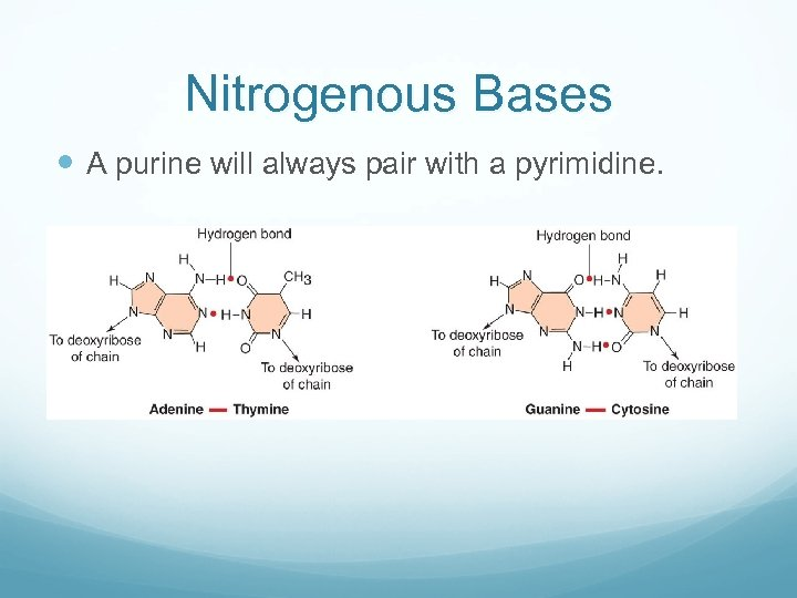 Nitrogenous Bases A purine will always pair with a pyrimidine.