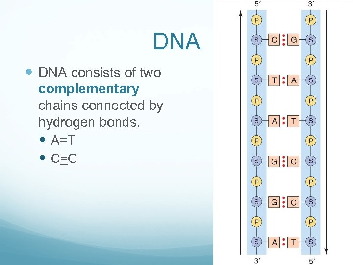 DNA consists of two complementary chains connected by hydrogen bonds. A=T C=G
