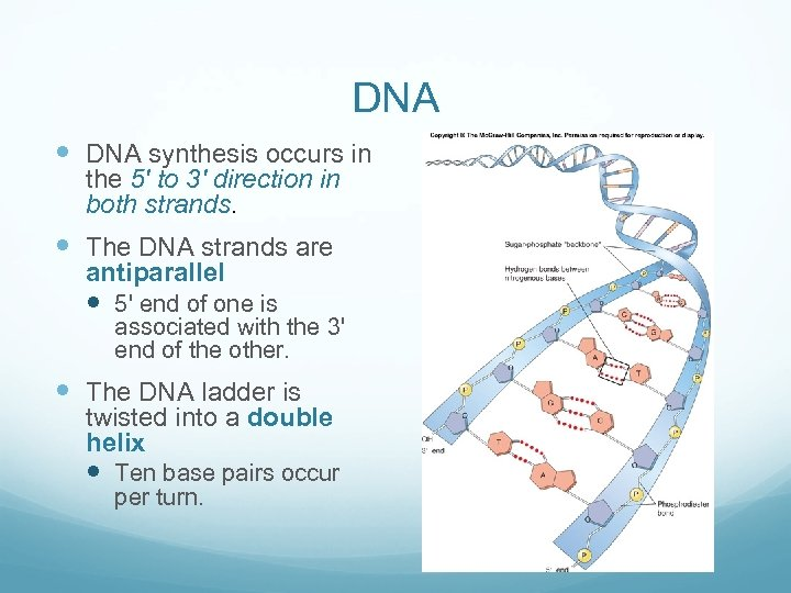 DNA synthesis occurs in the 5' to 3' direction in both strands. The DNA