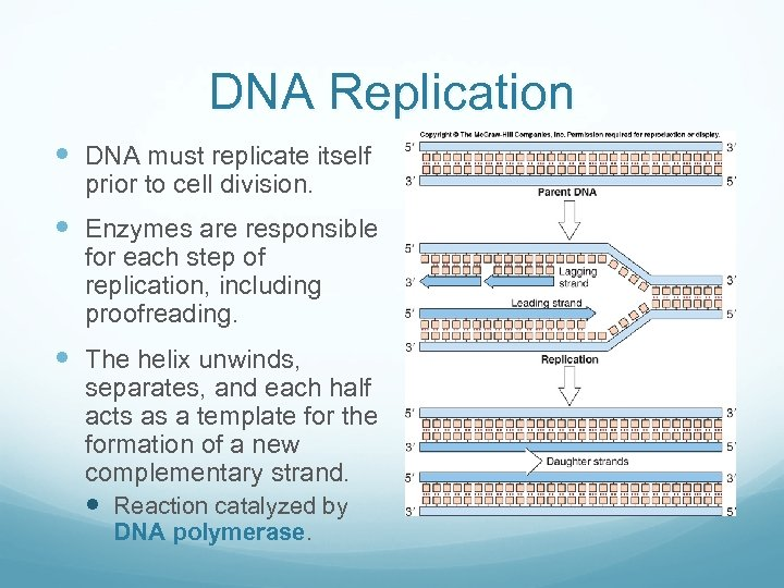 DNA Replication DNA must replicate itself prior to cell division. Enzymes are responsible for
