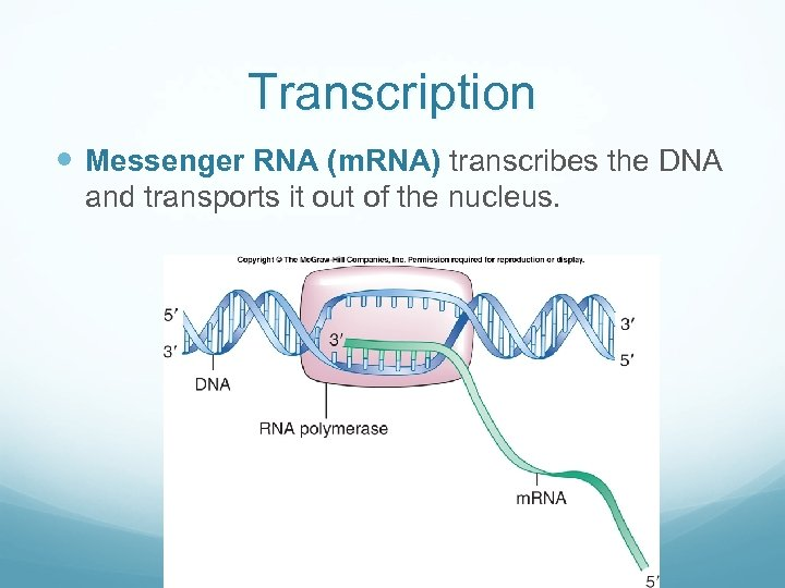 Transcription Messenger RNA (m. RNA) transcribes the DNA and transports it out of the