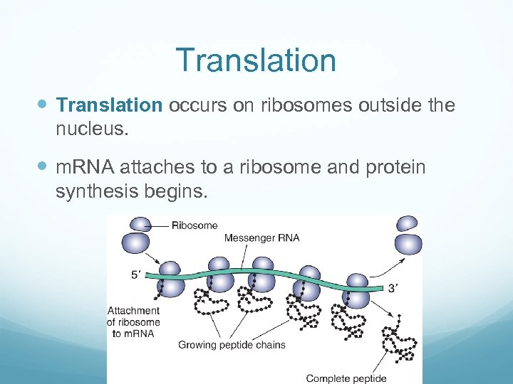 Translation occurs on ribosomes outside the nucleus. m. RNA attaches to a ribosome and
