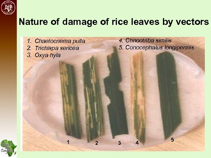 Nature of damage of rice leaves by vectors 4. Chnootriba similis 5. Conocephalus longipennis
