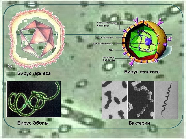 Вирус герпеса Вирус Эболы Вирус гепатита Бактерии