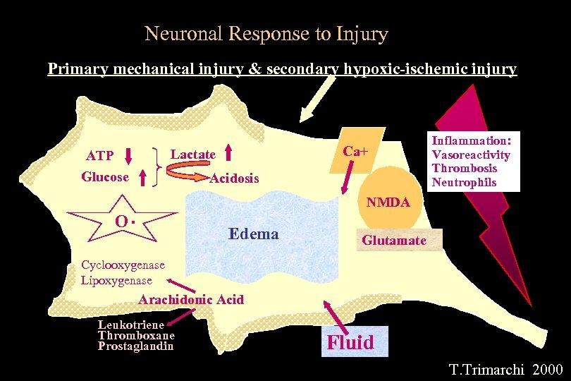 Neuronal Response to Injury Primary mechanical injury & secondary hypoxic-ischemic injury O Ca+ Lactate
