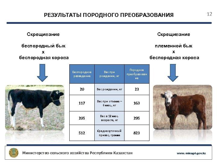 12 РЕЗУЛЬТАТЫ ПОРОДНОГО ПРЕОБРАЗОВАНИЯ Скрещивание беспородный бык х беспородная корова племенной бык х беспородная
