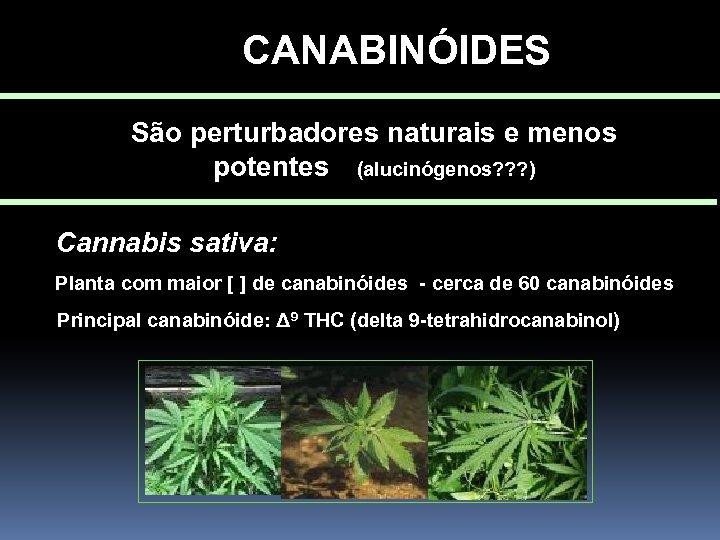 CANABINÓIDES São perturbadores naturais e menos potentes (alucinógenos? ? ? ) Cannabis sativa: Planta