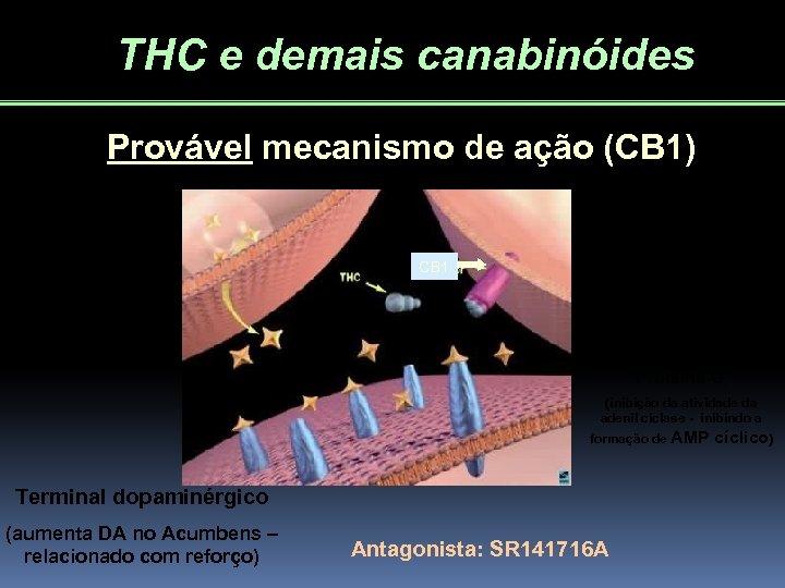 THC e demais canabinóides Provável mecanismo de ação (CB 1) CB 1 Envolvimento de