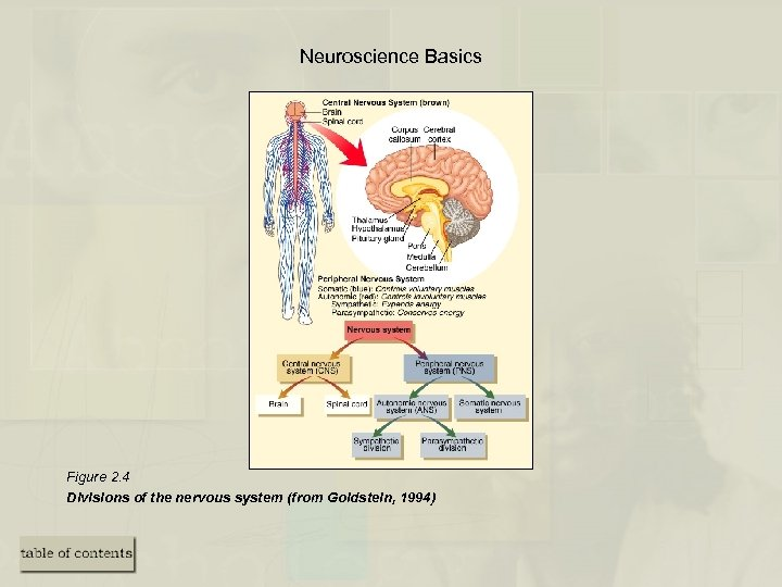 Neuroscience Basics Figure 2. 4 Divisions of the nervous system (from Goldstein, 1994)