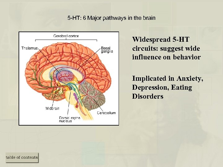 5 -HT: 6 Major pathways in the brain Widespread 5 -HT circuits: suggest wide