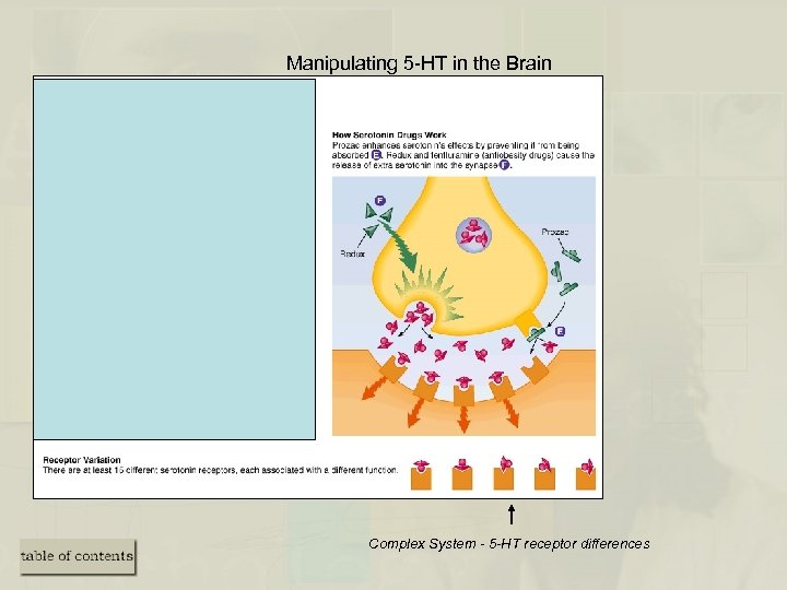 Manipulating 5 -HT in the Brain Complex System - 5 -HT receptor differences