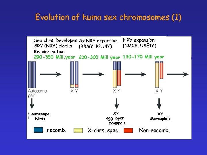 Evolution of huma sex chromosomes (1) Sex chrs. Developes SRY (NRY) blocks Recombination 290